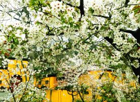 Cherry Blossoms in Jiming Temple
