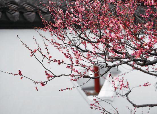 Plum Blossom City Flower Auspicious
